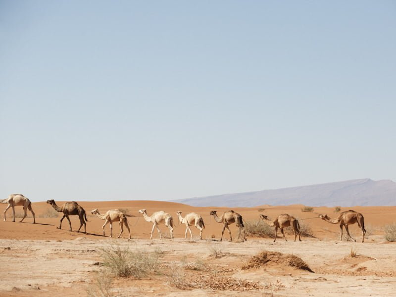 Group of Camels Crossing the Sahara Desert, Morocco